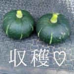 夏の思い出1~カボチャの収穫~